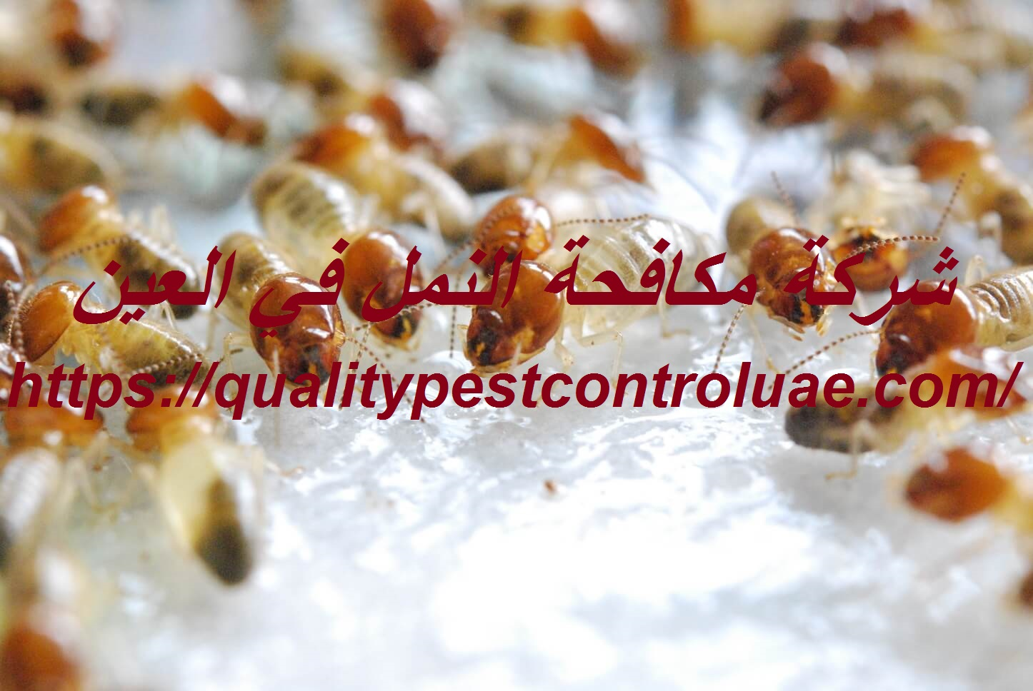 شركة مكافحة النمل في العين